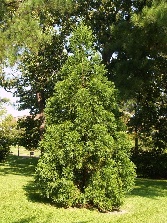 Japanese-Cedar.jpg